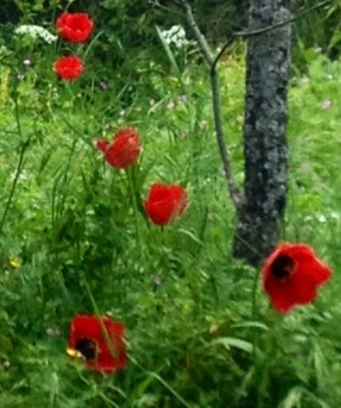 Poppies close to Vivetta' house