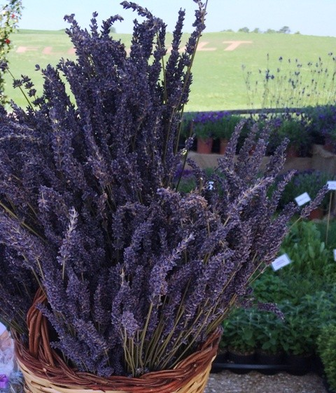 Lavander at Floracult, photo by N