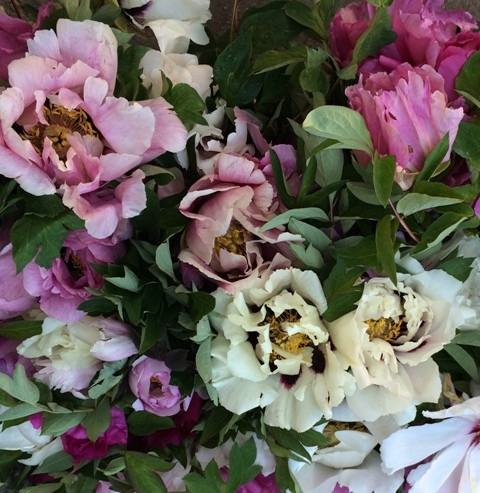 Peonies at Floracult, photo by N