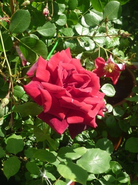 A rose at Floracult, photo by N