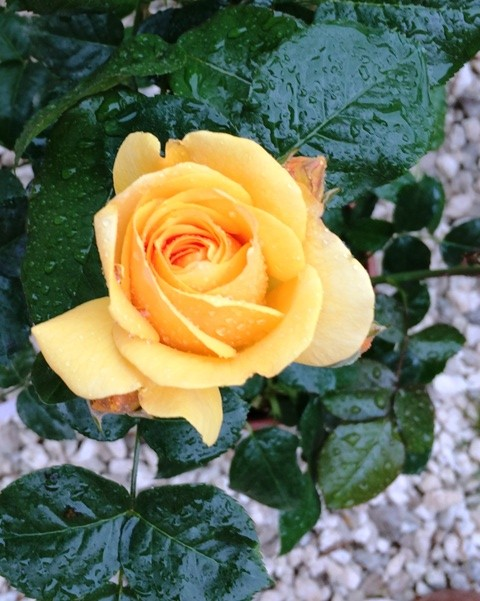 A rose by Barni, photo by N