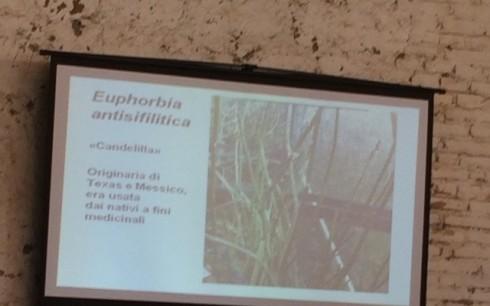 The Euphorbia