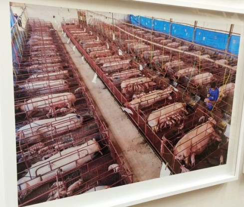 George Steinmetz, at the Nutribras pig farm in Brazil, 2nd September 2013, courtesy of the artist, photo by N
